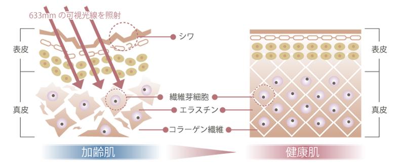 加齢肌と健康肌